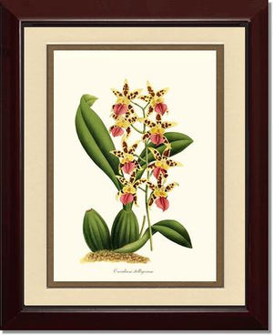 Oncidium stelligerum