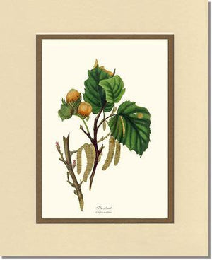 Hazelnut Tree