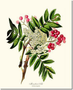 Tree Print: Mountain Ash Tree
