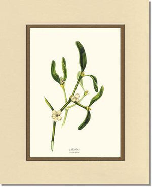 Mistletoe Tree - Viscum album