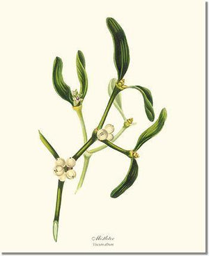 Tree Print: Mistletoe Tree - Viscum album