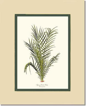 Spiny Date Palm Tree