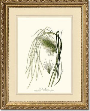 Feather Grasses