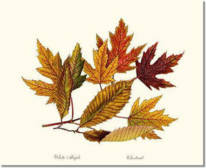Tree Print: Tree Leaf:  Chestnut, White Maple  in Autumn