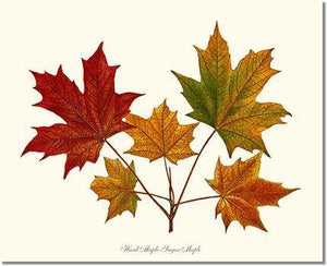Tree Print: Tree Leaf: Hard Maple-Sugar Maple