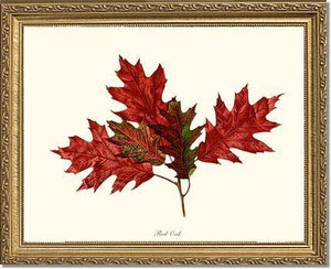 Tree Leaf:  Red Oak in Autumn