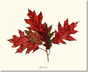 Tree Print: Tree Leaf:  Red Oak in Autumn