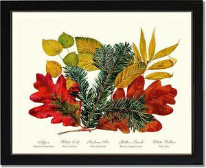 Tree Leaf: Aspen, Oak, Fir, Birch and Willow  Hard Maple Red Oak