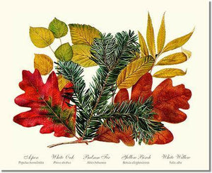 Tree Print: Tree Leaf: Aspen, Oak, Fir, Birch and Willow  Hard Maple Red Oak