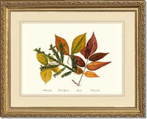 Tree Leaf: Elm-Spruce-Beech-Ash in Autumn