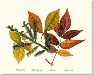 Tree Print: Tree Leaf: Elm-Spruce-Beech-Ash in Autumn