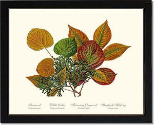 Tree Leaf:  Basswood-Cedar-Dogwood-Hickory in Autumn Color