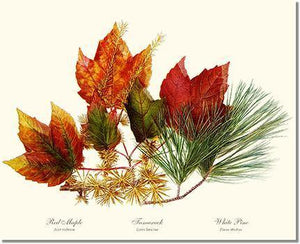 Tree Print: Tree Leaf: Maple-Tamarack-Pine in Autumn Color