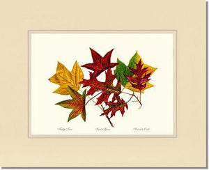Tree Leaf:  Tulip-Tree-Sweet-Gum-Scarlet-Oak in Autumn Color