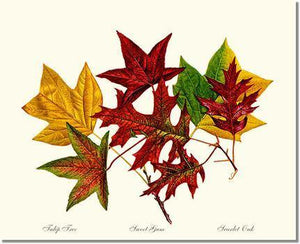 Tree Print: Tree Leaf:  Tulip-Tree-Sweet-Gum-Scarlet-Oak in Autumn Color