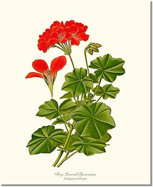 Flower Floral Print: Geranium, Ivy-leaved Pelargonium