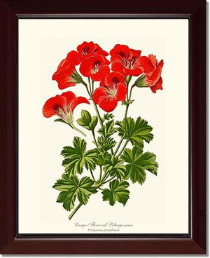 Pelargonium, Large Flowered