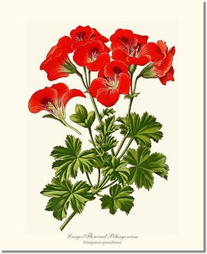 Flower Print: Pelargonium, Large Flowered