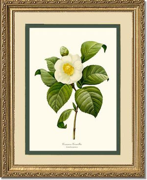 Flower Print: Camellia, Common White