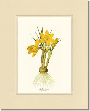 Flower Print: Crocus, Yellow