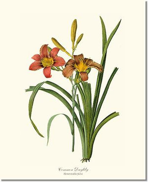 Flower Floral Print:  Daylily, Common