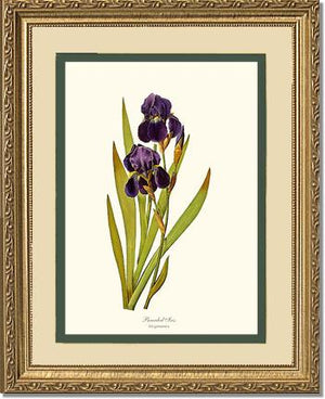 Flower Print: Iris, Bearded