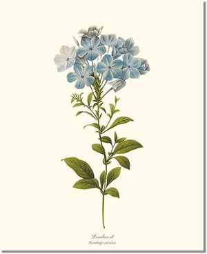 Flower Print: Leadwort