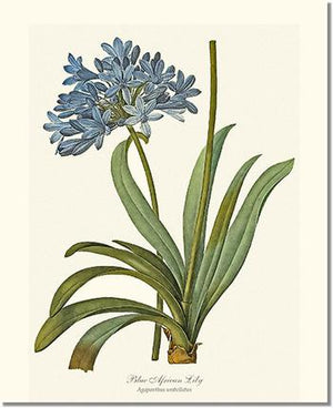 Flower Floral Print: Lily, Blue African Agapanthus