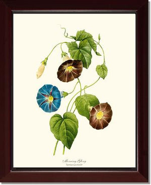 Flower Print: Morning Glory