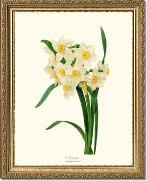 Flower Print: Narcissus