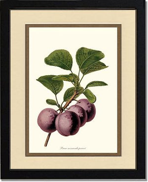 Fruit Print: Plums, Normande Precoce