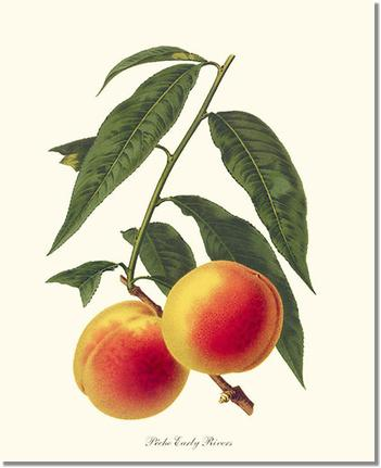Fruit Print: Peach, Early Rivers