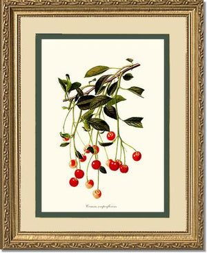Fruit Print: Cherries