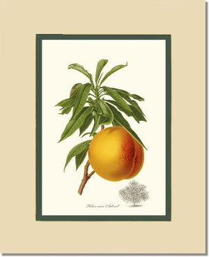 Fruit Print: Peach, Aubinel