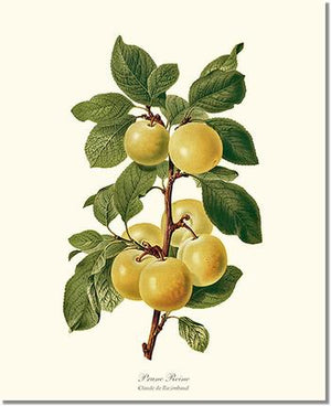 Fruit Print: Plum, Reine-Claude