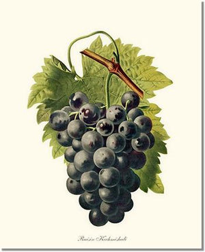 Fruit Print: Grape, Kechmishali