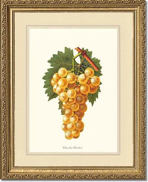 Fruit Print: Grapes, Chasselas