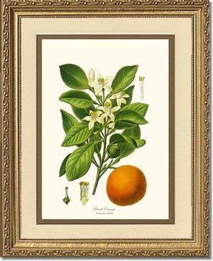 Fruit Print: Sweet Orange