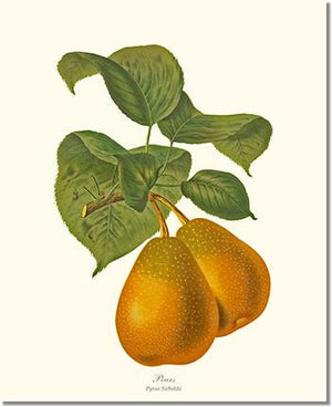 Fruit Print: Pear, Sieboldi
