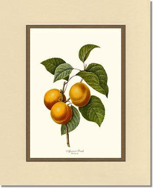 Fruit Print: Apricot-peach