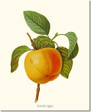 Fruit Print: Apple, Calville