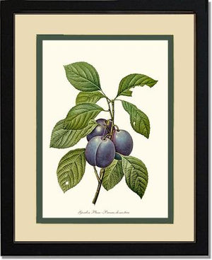 Fruit Print: Plum, Garden