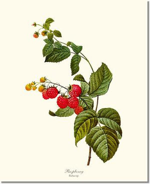 Fruit Print: Raspberry