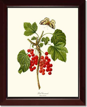 Fruit Print: Currant,  Red