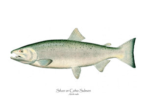 Antique Fish Print: Coho Salmon - Male