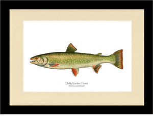Dolly Varden - Female