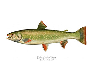 Antique Fish Print: Dolly Varden - Female