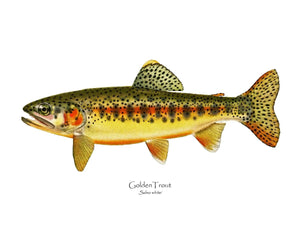 Antique Fish Print: Golden Trout