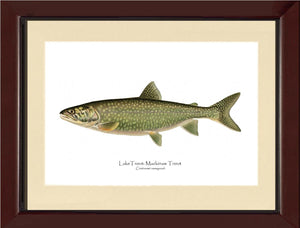 Lake Trout - Mackinaw Trout