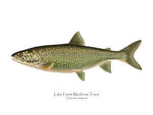 Antique Fish Print: Lake Trout - Mackinaw Trout